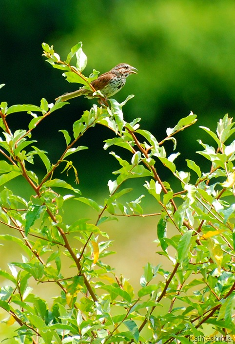 13. Song sparrow-kab