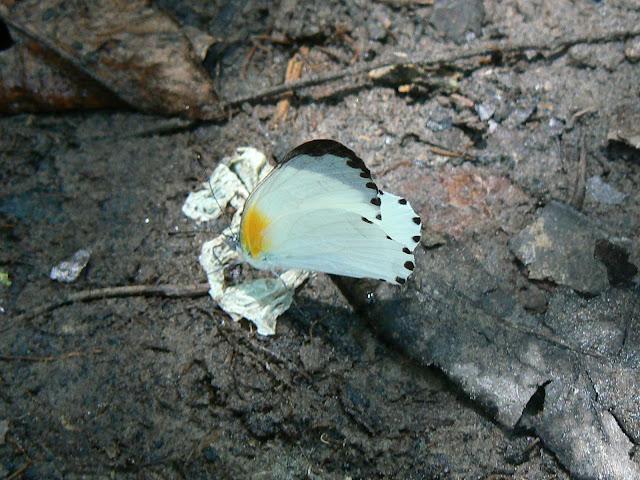 Probablement Mylothris continua TALBOT, 1944, mâle. Ebogo (Cameroun), 20 avril 2013. Photo : C. Renoton