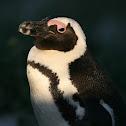 African penguin