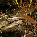 Common Basiliscus