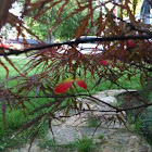 Japanese red maple (select dwarf)