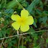Common Rockrose (Ηλιάνθεμο)