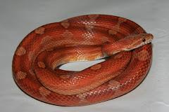 corn snake [8] - imglinkz