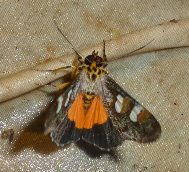 Agaristinae : Schausia coryndoni (ROTHSCHILD, 1896). Saha Forest Camp, Anjozorobe (Madagascar). 4 janvier 2014. Photo : T. Laugier