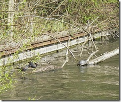 Terrapin and moorhens