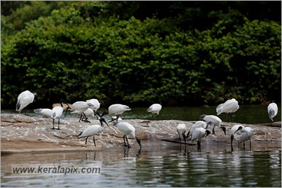 _P6A1885_Ranganathittu Bird Sanctuary