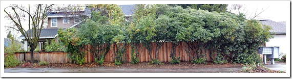 110101_streetside_hedge