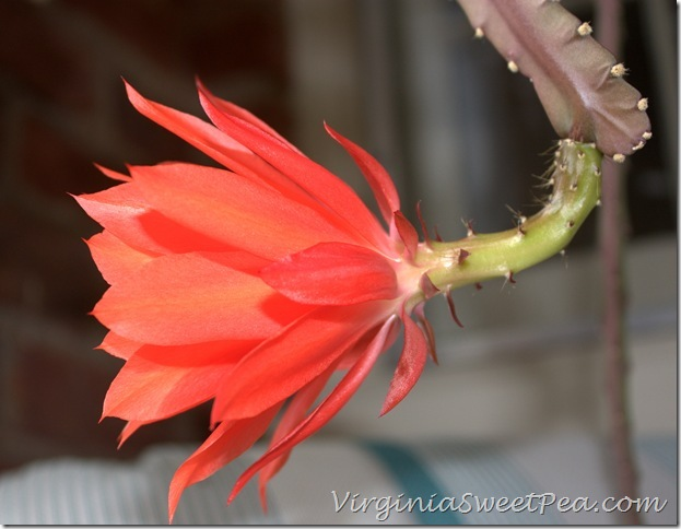Epiphyllum2