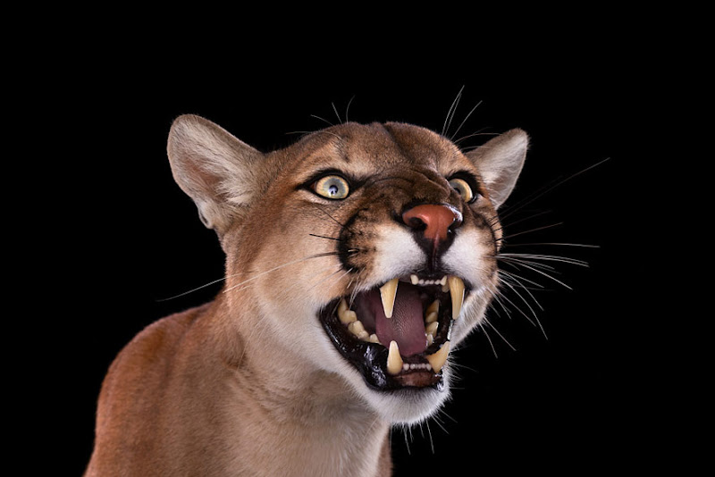 animal-photography-affinity-Brad-Wilson-mountain-lion-2.jpeg