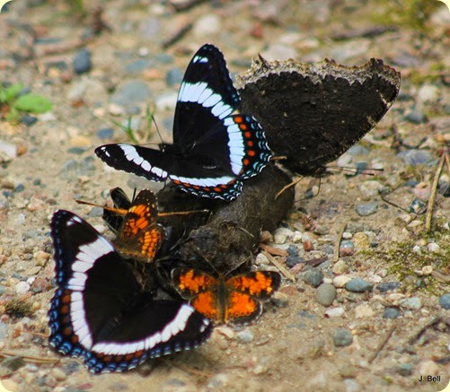 Mourning Cloak, White Admiral, and Northern Crescent