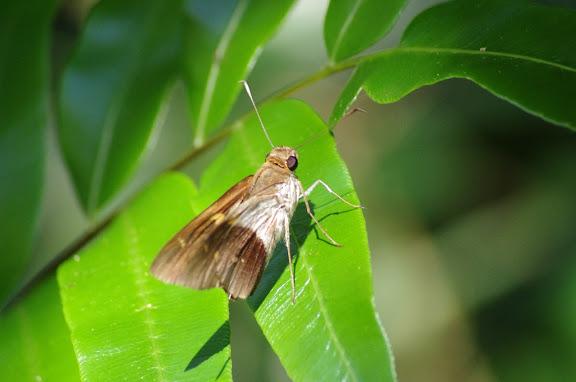 Hesperiidae : Saliana antoninus LATREILLE, [1824]. Sertao de Barra do Una (Sao Sebastiao, SP). 17 février 2012. Photo : J.-M. Gayman
