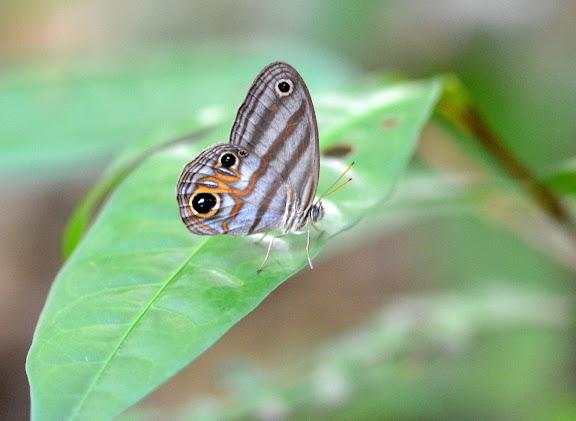 Chloreuptychia herseis GODART, 1824. Camp Caïman, Montagne de Kaw (Guyane). 13 novembre 2011. Photo : M. Belloin