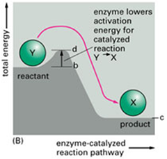 Role of enzymes