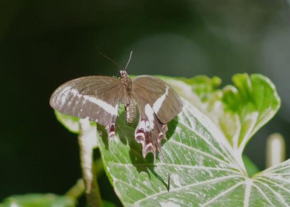 Papilio hectorides ESPER, 1794, femelle. Sertao de Barra do Una (Sao Sebastiao, SP). 14 février 2012. Photo : J.-M. Gayman