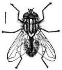Housefly_-_Project_Gutenberg_eText_18050