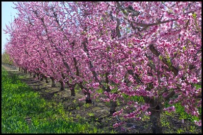 Plum Trees on CA I-5 near Bakersfield