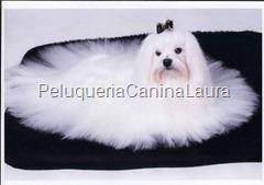 El Bichón Maltés es un perro pequeño con un comportamiento parecido con los  demás perros de su tamaño. Suele ser muy excitable y ladrador 24325da8de31
