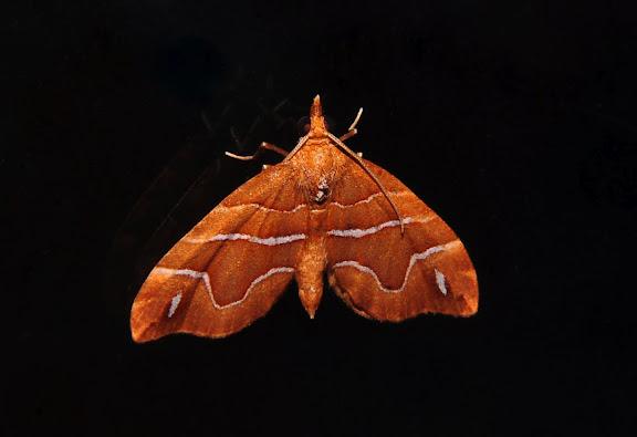 Geometridae : Larentiinae : Asthenini : Chaetolopha leucophragma MEYRICK, 1891. Umina Beach (NSW, Australie), 24 septembre 2011. Photo : Barbara Kedzierski