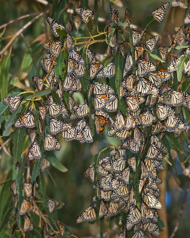 monarch-migration-20