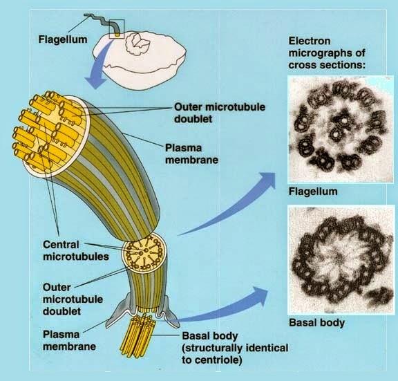 Difference Between Prokaryotic And Eukaryotic Flagella