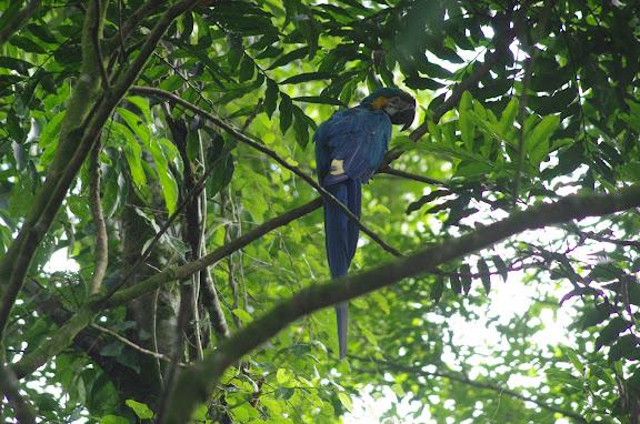 Ara bleu ou Arara canindé (portugais) : Ara ararauna(LINNAEUS, 1758 (Psittacidae). Sertao de Barra do Una (Sao Sebastiao, SP). 22 février 2012. Photo : J.-M. Gayman