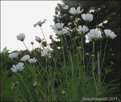 tall wildflowers0825 (4)