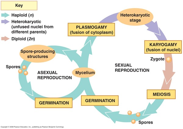 sexual and asexual reproduction - Fungi Life Cycle