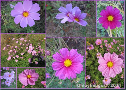 meadow pinks1106