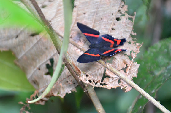 Ancyluris aulestes CRAMER, 1777. Amazone Nature Lodge, Montagne de Kaw (Guyane). 18 novembre 2011. Photo : M. Belloin