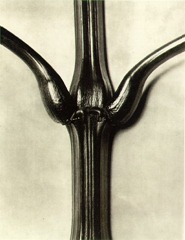 Karl Blossfeldt - Indian balsam