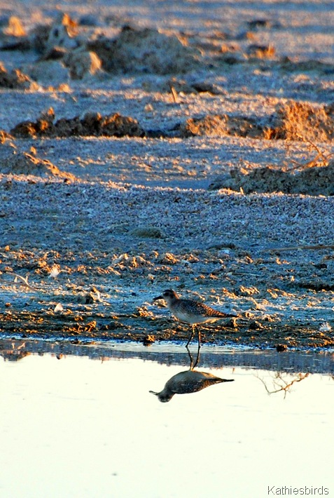 9. plover-kab
