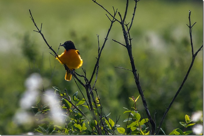 Baltimore Oriole IMG_2268