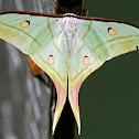 Indian Moon Moth