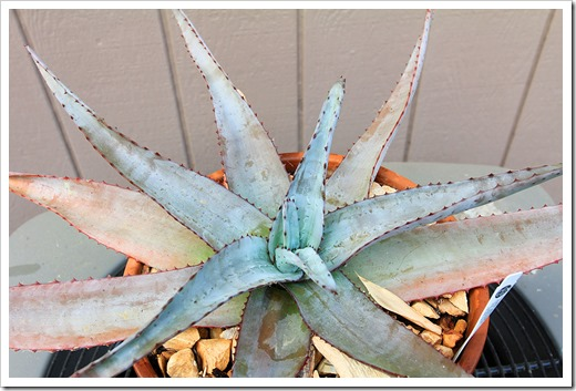 130820_Aloe-capitata-quartziticola_01