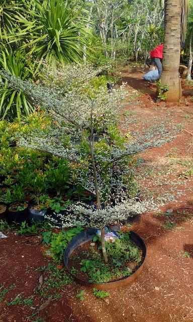 gambar tanaman ketapang kencana daun putih harga murah