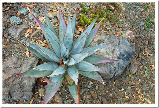 131004_RBG_Fall_Aloe-capitata-quartziticola_05