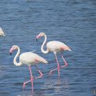 Flamingo (Greater)