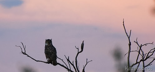 Great Honred owl in sycamore Canyon 8-8-2008