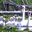 Mute Swan (pair with 6 cygnets)