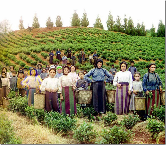 A-Group-of-Workers-Harvesting-Tea-ca.-1907-1915