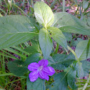 Drummond's Wild Petunia