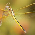 Golden-winged Skimmer Dragonfly