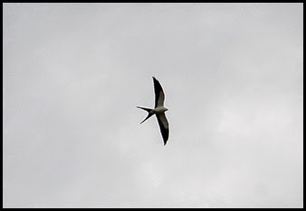 00h - Hiking - Swallow Tailed Kite