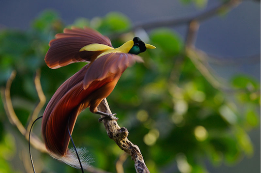Тим Ламан: Тайны райских птиц tumblr_lrdoa5XEw91qeeqk5o1_1280