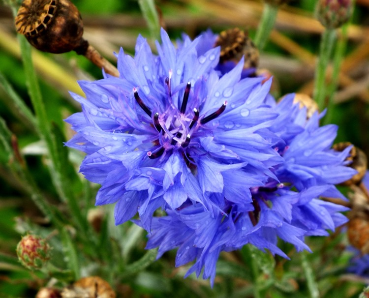 wildflower cornflowers