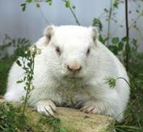 Wiarton Willie