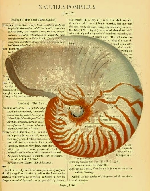 CONFESSIONS OF A PLATE ADDICT Vintage Chambered Nautilus print