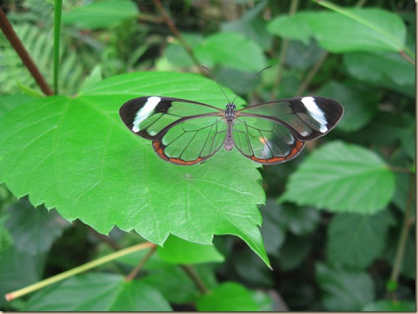 Greta oto un papillon transparent (11)