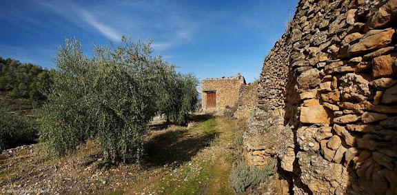 Bancals d'oliveres al barranc del Coll de Manxa, Montsant,La Bisbal de Falset, Priorat, Tarragona