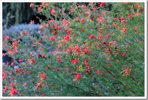 130119_UCDA_AustralianCollection_Grevillea-thelemanniana_03